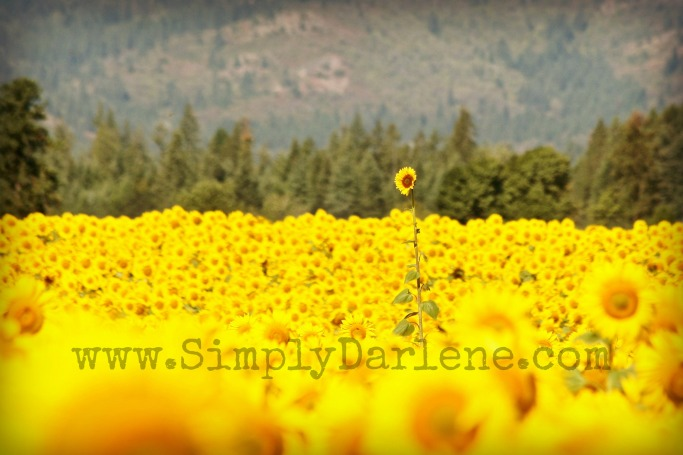 sunflwr field4 sd